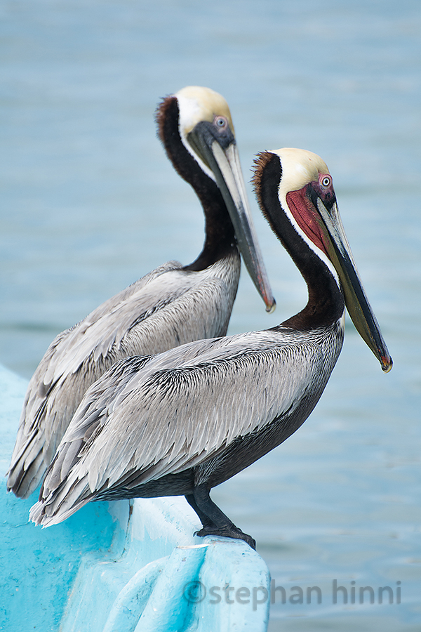 Two Pelicans on a Boat